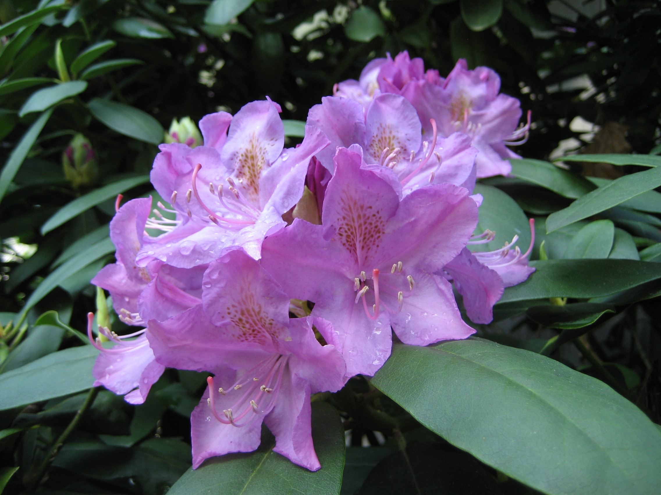spring rhodi bloom.JPG