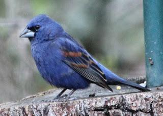 Blue_Grosbeak_5_11_13.1.jpg