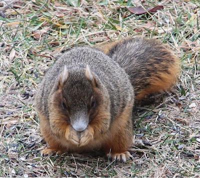 Fox_Squirrel_12_24_13.jpg