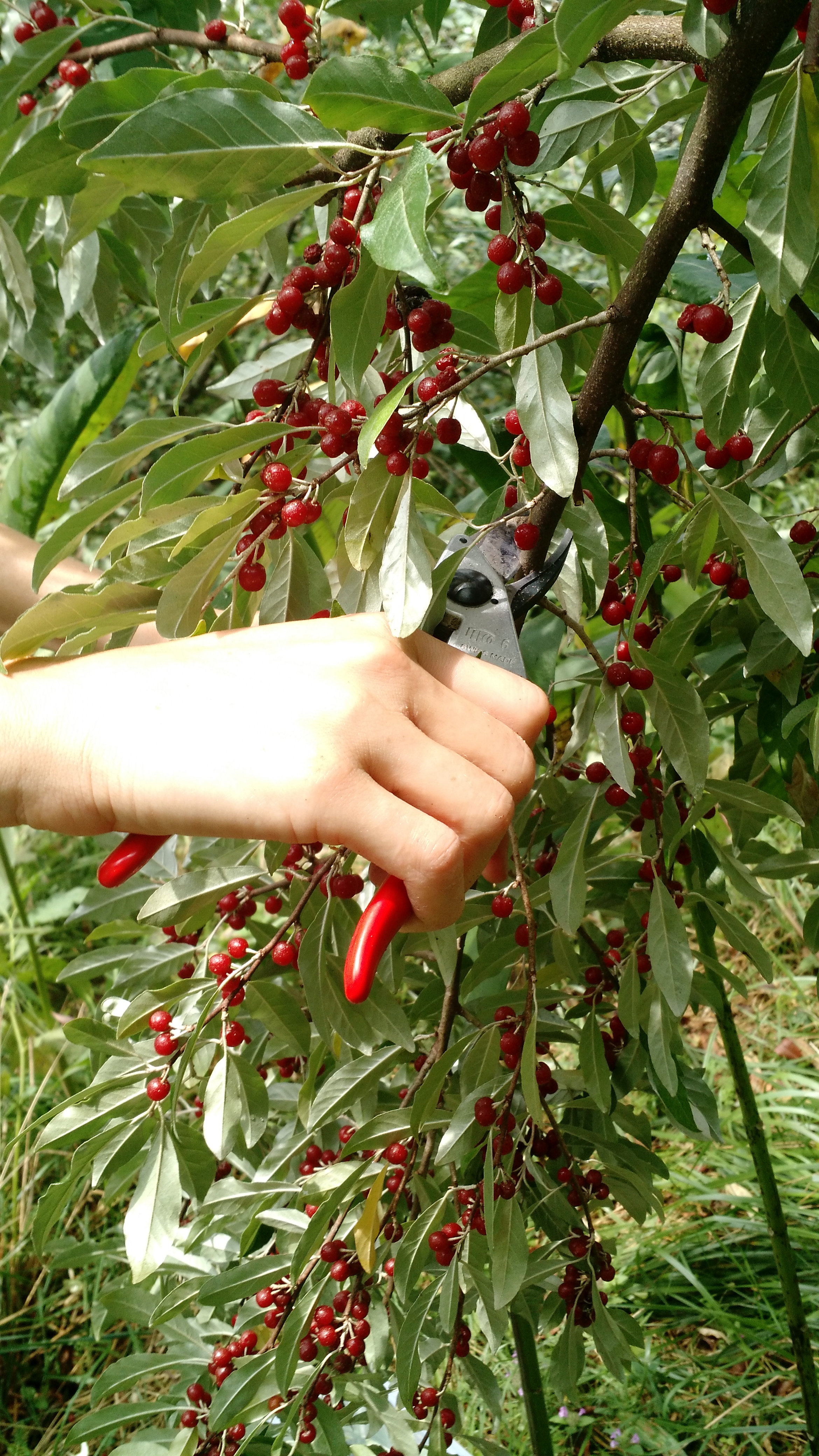 Pruning the berry laden branches.
