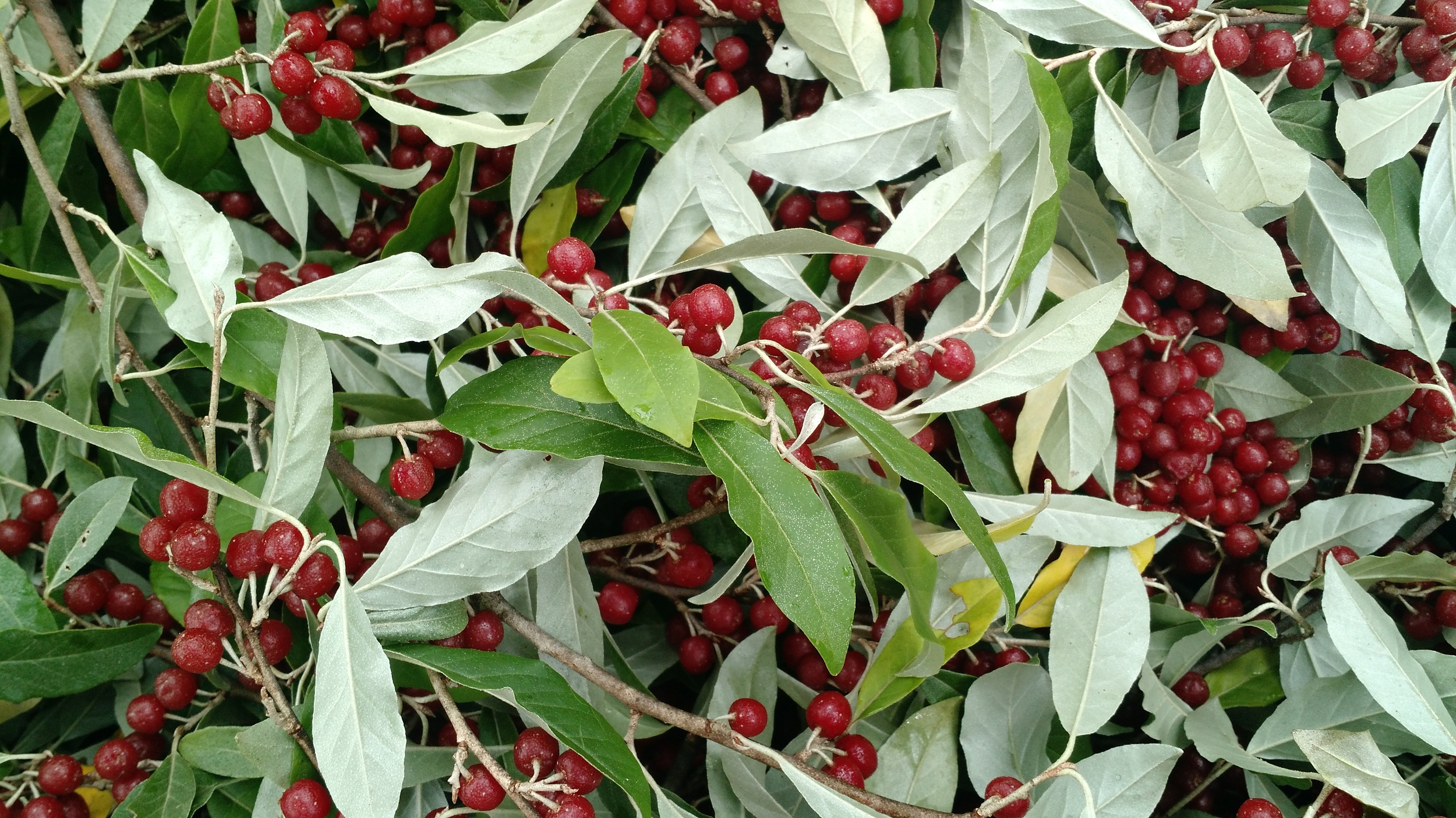 Close-up of pruned branches with berries.