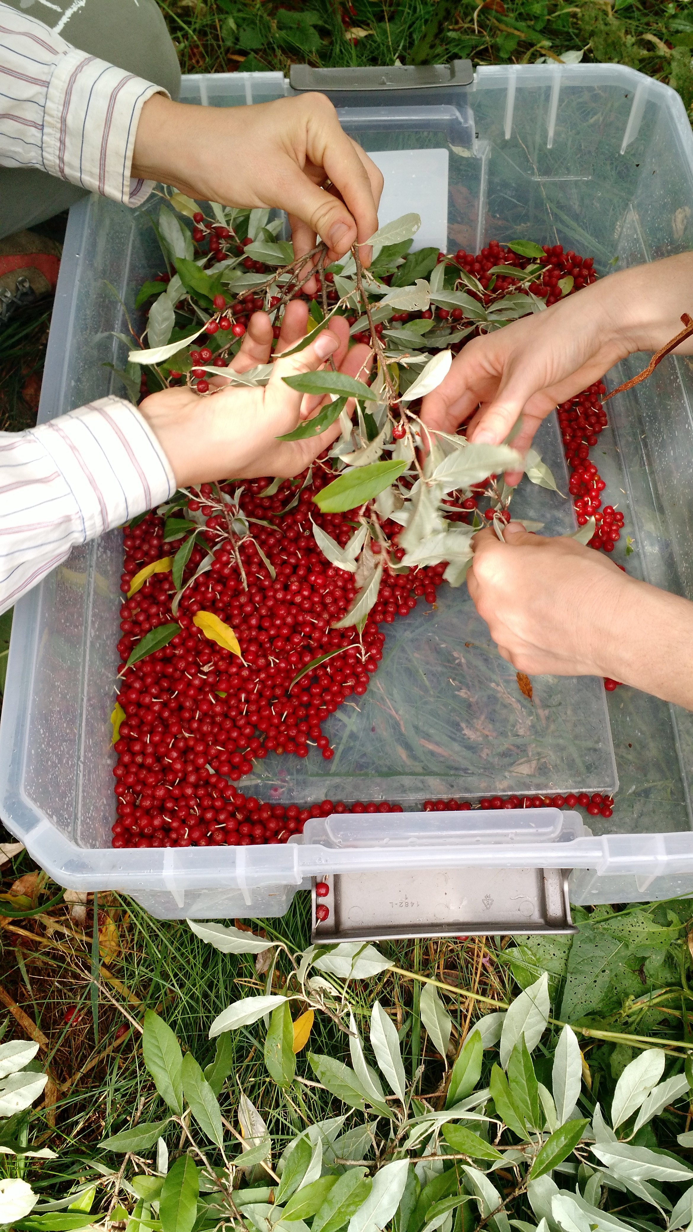 Removing the berries from pruned branches.