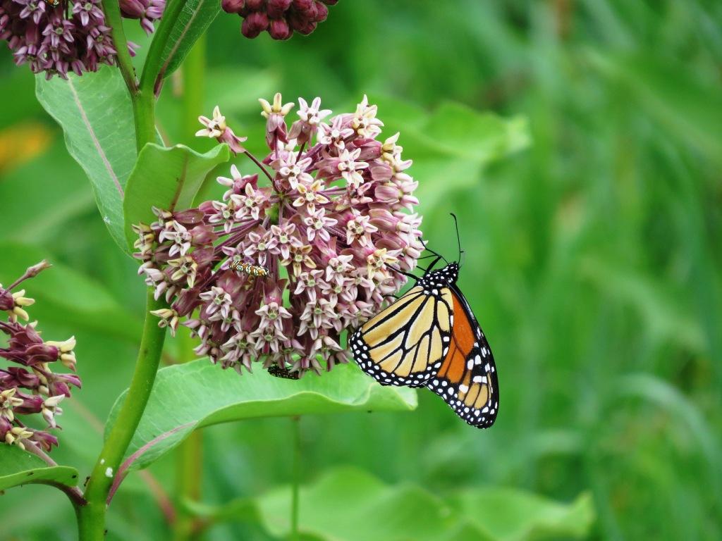 Monarch Butterly on Milkweed