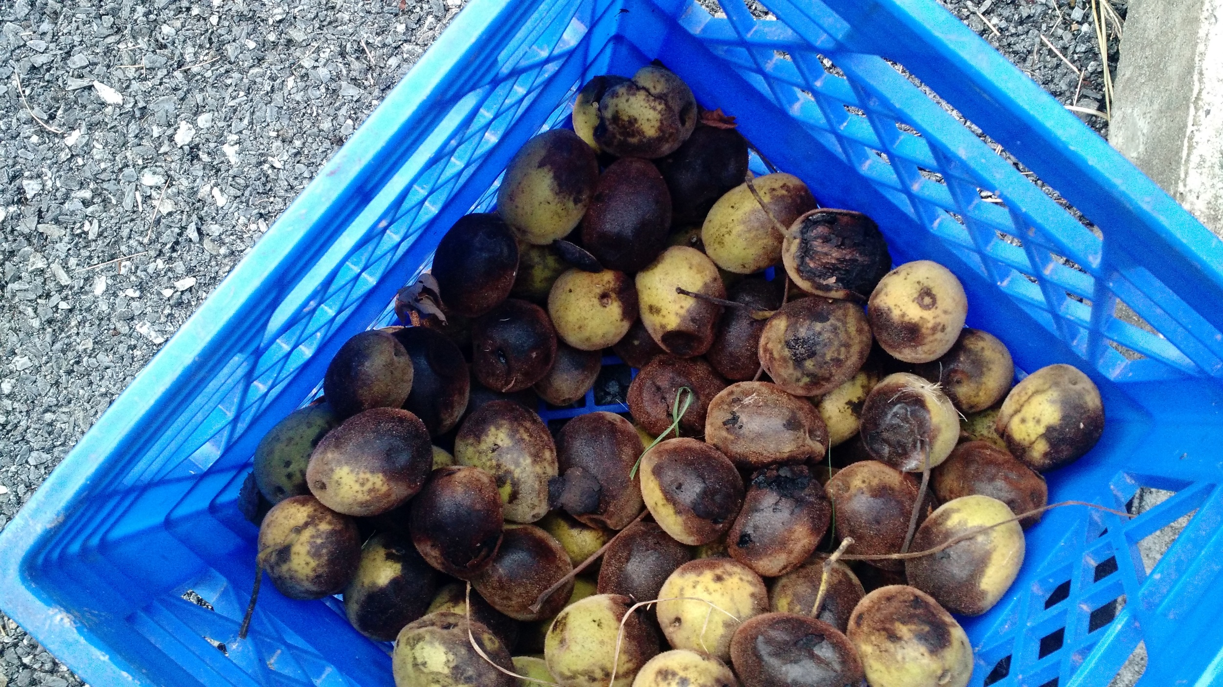 Harvested nuts