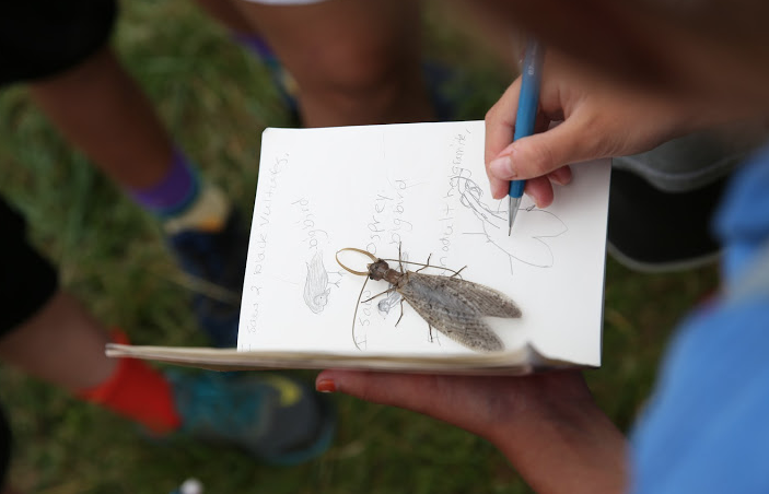 Male Adult Dobsonfly (Hellgrammite)