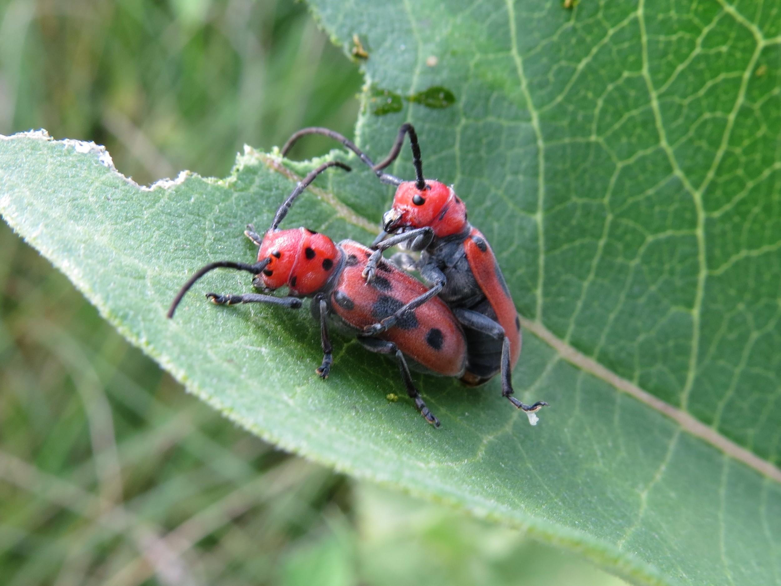 Red milkweed beetles mating on common milkweed