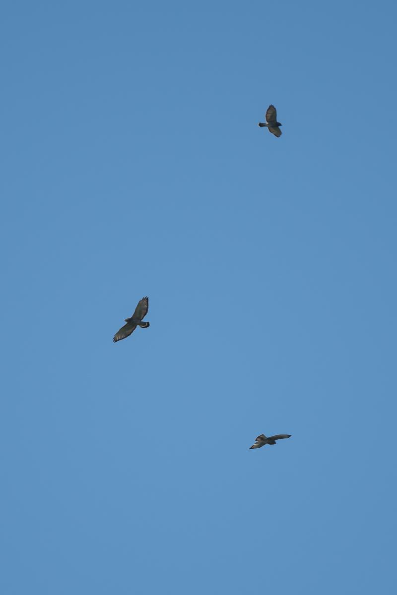 Broad-winged Hawk Kettle.jpg