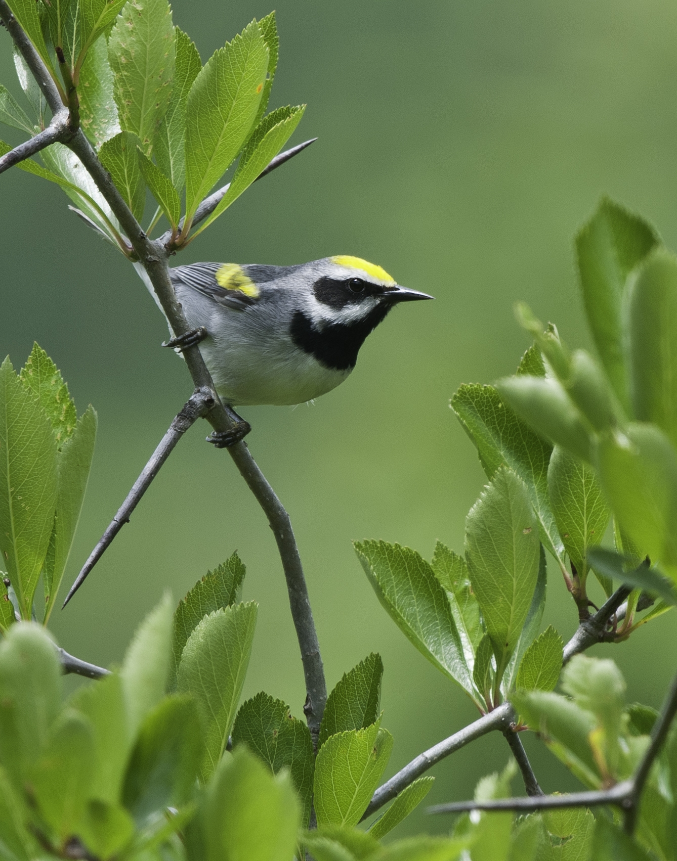 A Golden-winged Warbler on its breeding territory in Smyth County along the Appalachian Trail.