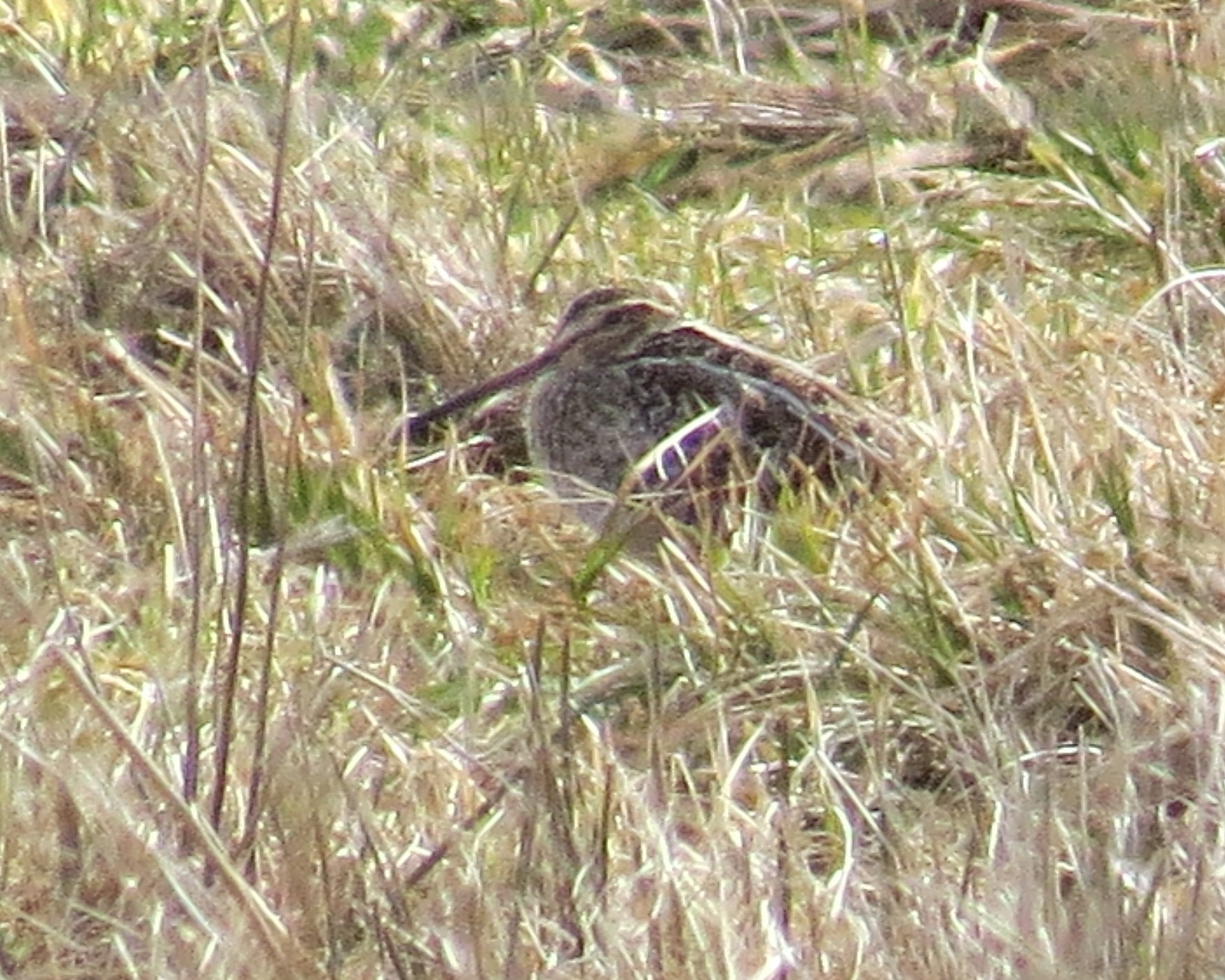 Wilson's snipe photo by Adrianna Nelson