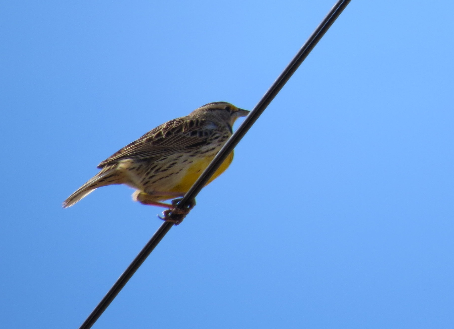 Eastern meadowlark photo by Adrianna Nelson