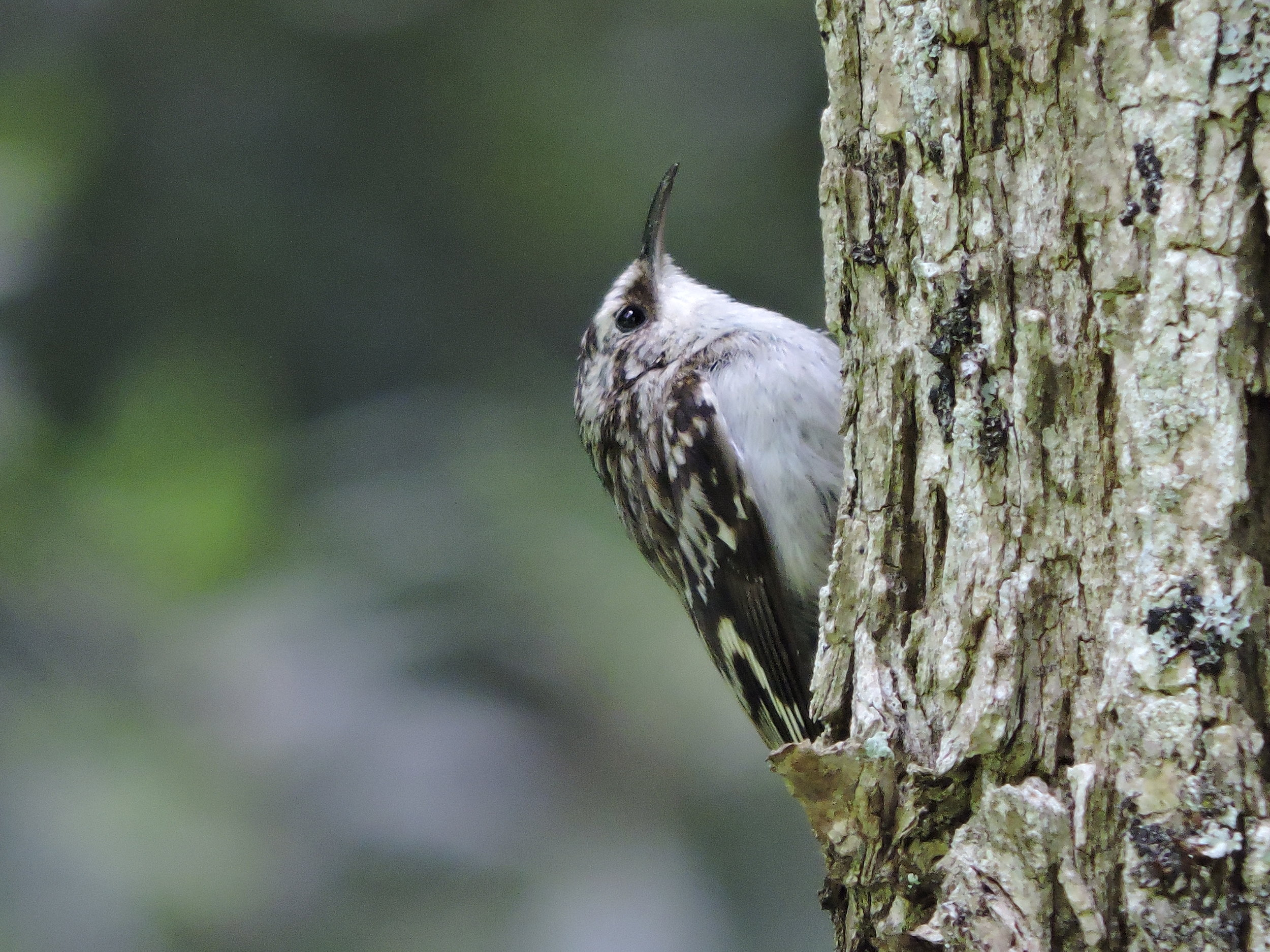 Brown creeper ( Certhia Americana )