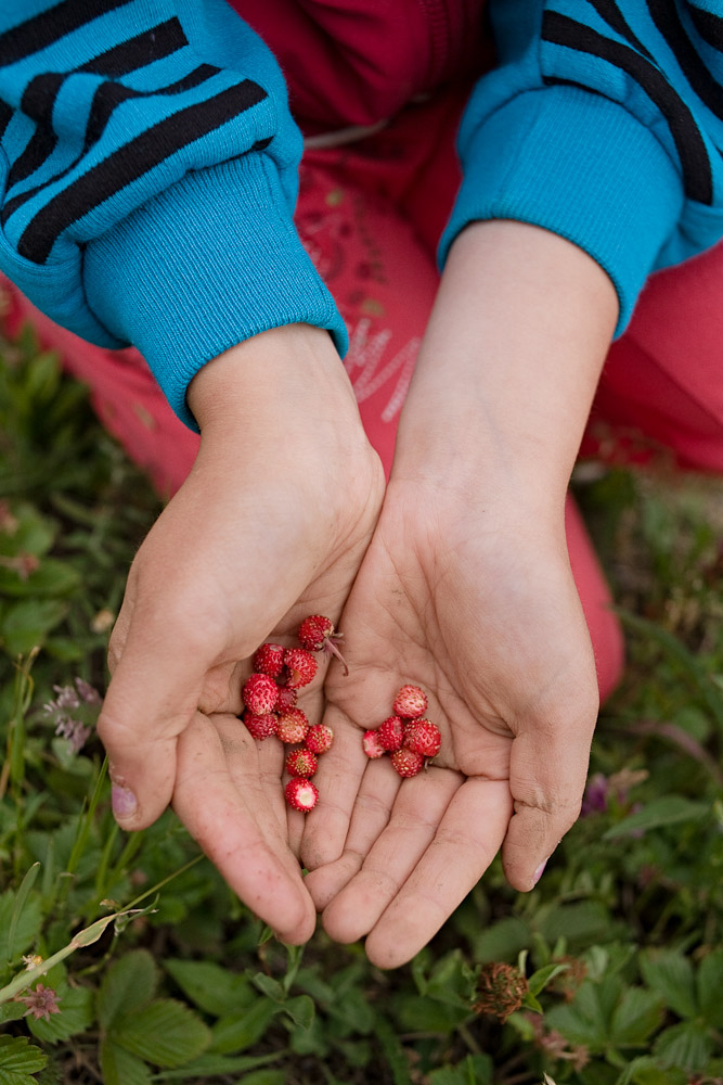 Zece-Hotare village, Romania.Marina Toderas, 11, gathers wild strawberries on land behind her family's house. They will either be eaten immediately or dried and used to make infusions during the winter.