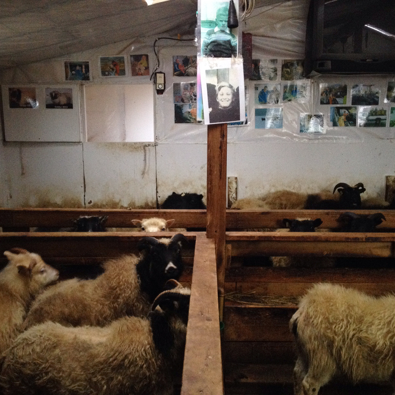 Jón, Icelandic cross country skiing champion and one of Òlafsfjörður's two policeman, has had an awkward mating season on his farm. Indriði, his newly acquired ram, turned out to be gay. Still, he loves his flock. His sheep listen to Bylgjan 100.6FM over the winter, because it makes them happy. They get to peruse the family picture album on the wall. The ones who survive the annual autumn slaughter are rewarded with a photo-shoot, a name, and a spot in his enormous livestock register.  The rest become  hangikjot , deliciously salty and twice-smoked over their own manure.
