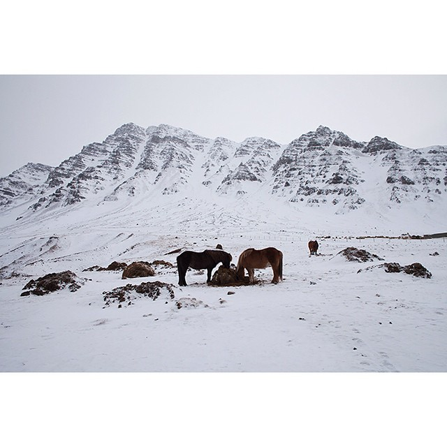 "66°11'11.3""N 18°57'03.2""W, 01/02/2015, 1513 Grazers, old Siglufjörður road, Iceland #pony #horse #hay #Iceland #roadside #winter"