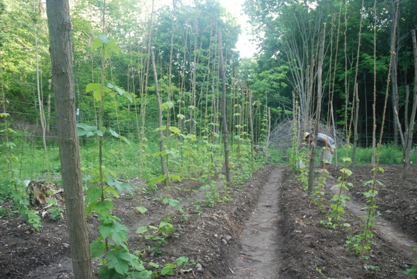 Our hops jungle! The plants are loving their new home, and so are we.