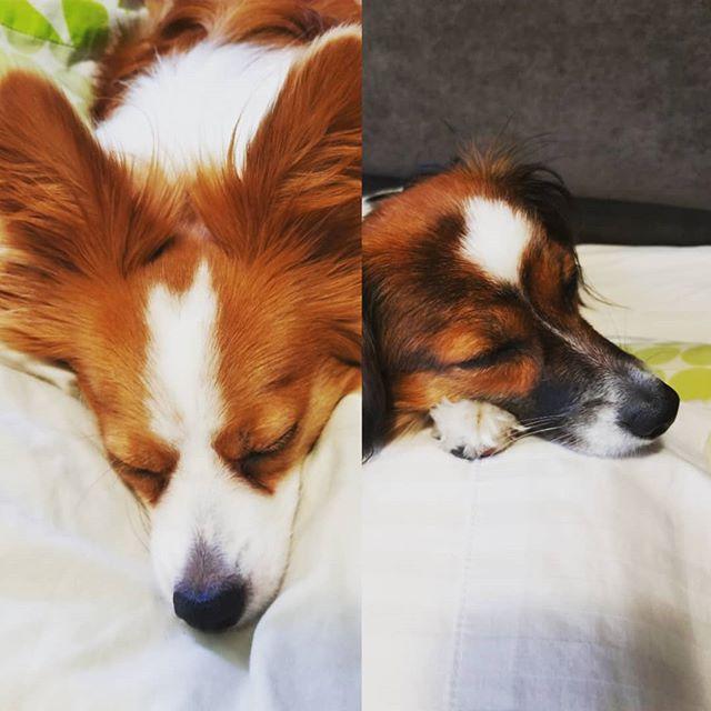 Afternoon puppy naps  #lokiandfreya #papillondog #phalenedog
