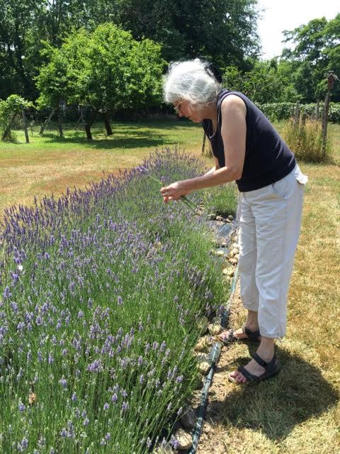 Spider harvesting lavender at Barlow's Mill, Fredonia, NY