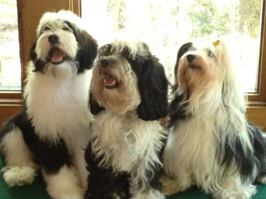 Our favorite trio of Tibetan Terriers: Tango, Lucy & Nova!