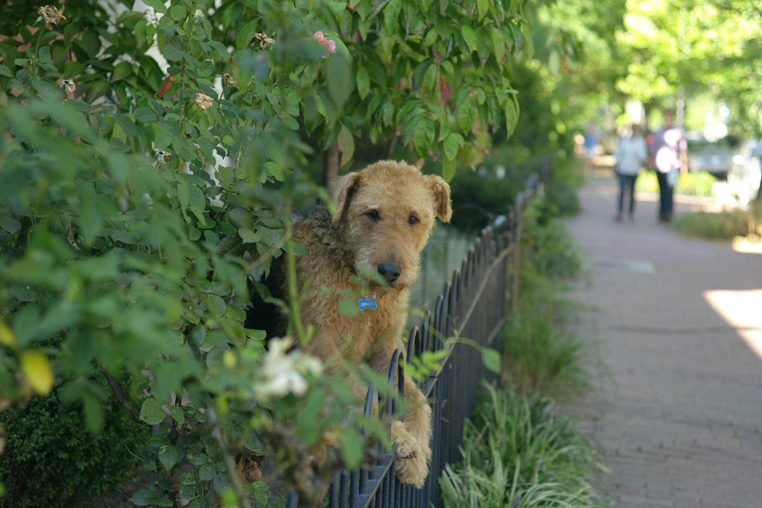 Cap Hill - dog on fence 5th Street.jpg