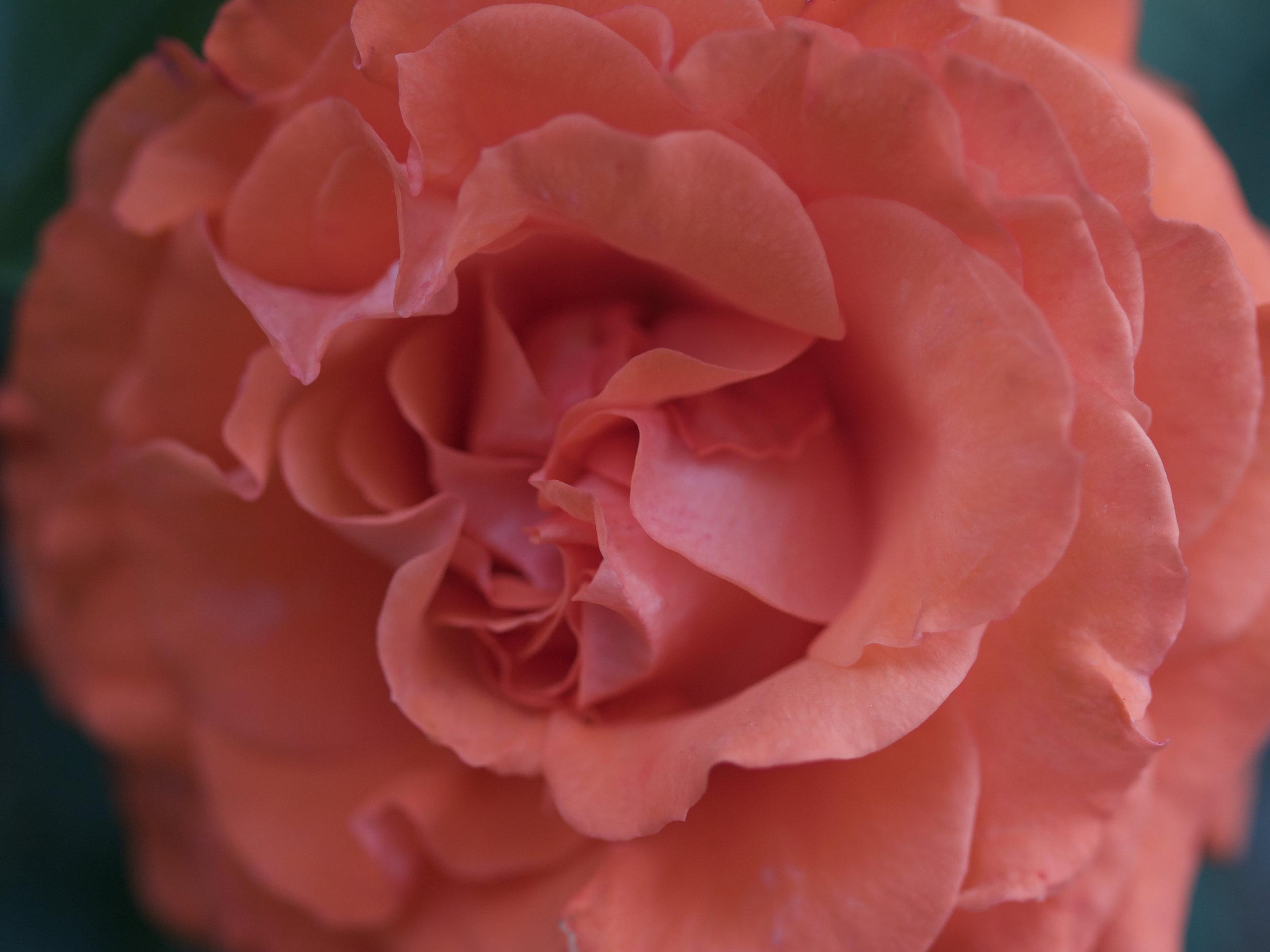 Rose Peach.jpg