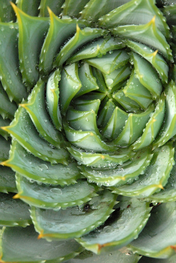 Aloe polyphylla01.jpg