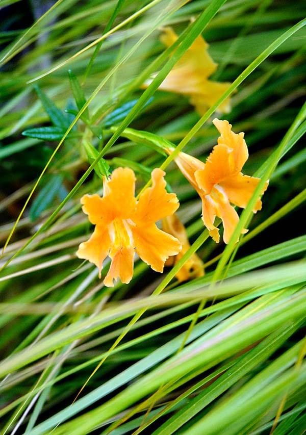 mimulus-grass.jpg