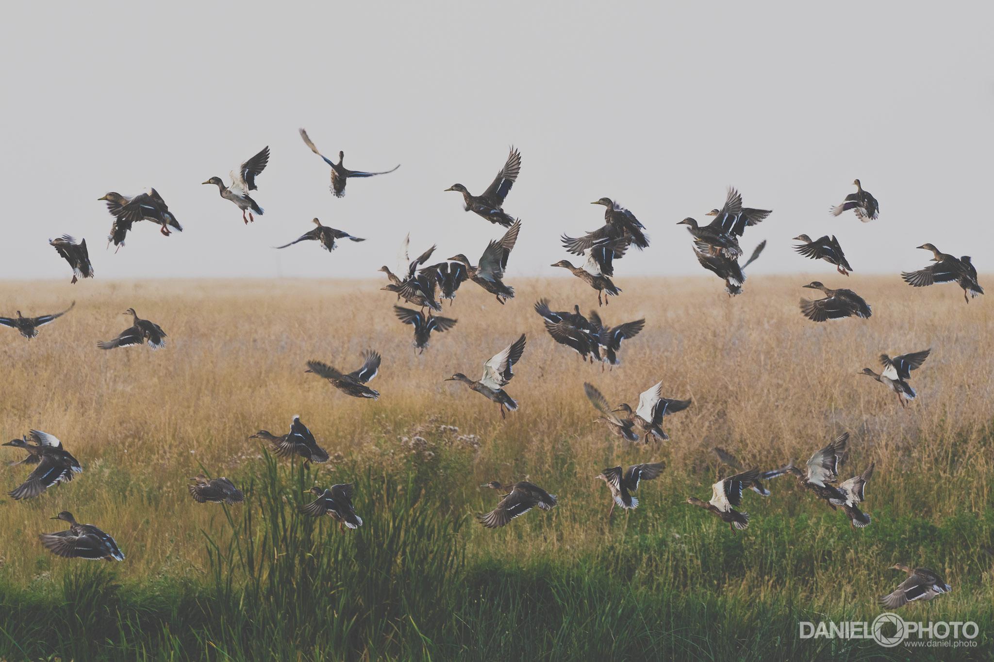 A flock of ducks takes flight.