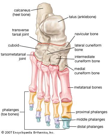 26 Foot Bones