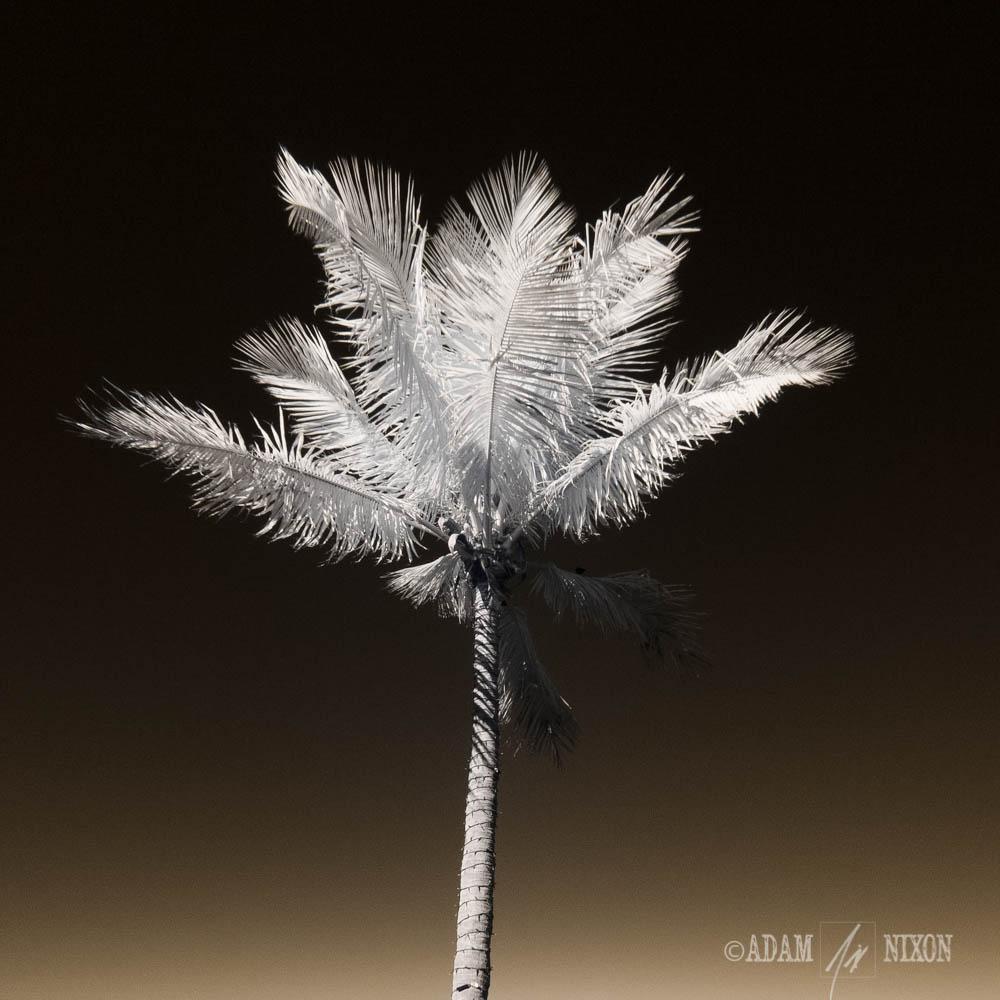 IR Palm Tree