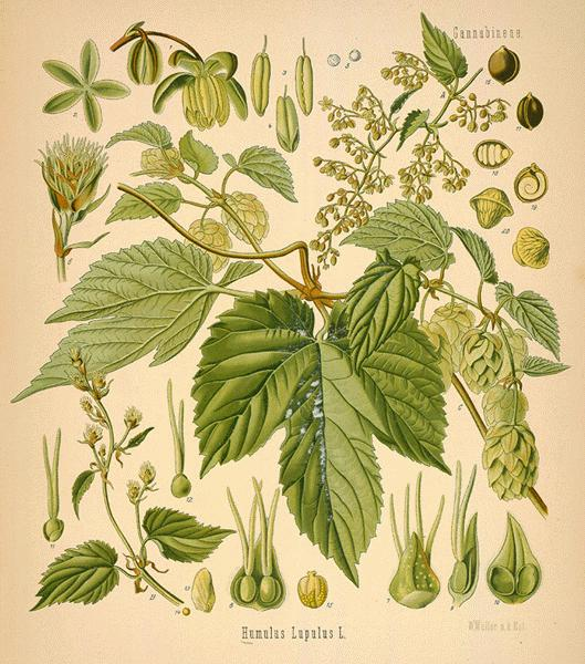 image courtesy of Missouri Botanical Gardens' Rare Book Collection:  http://www.mobot.org/