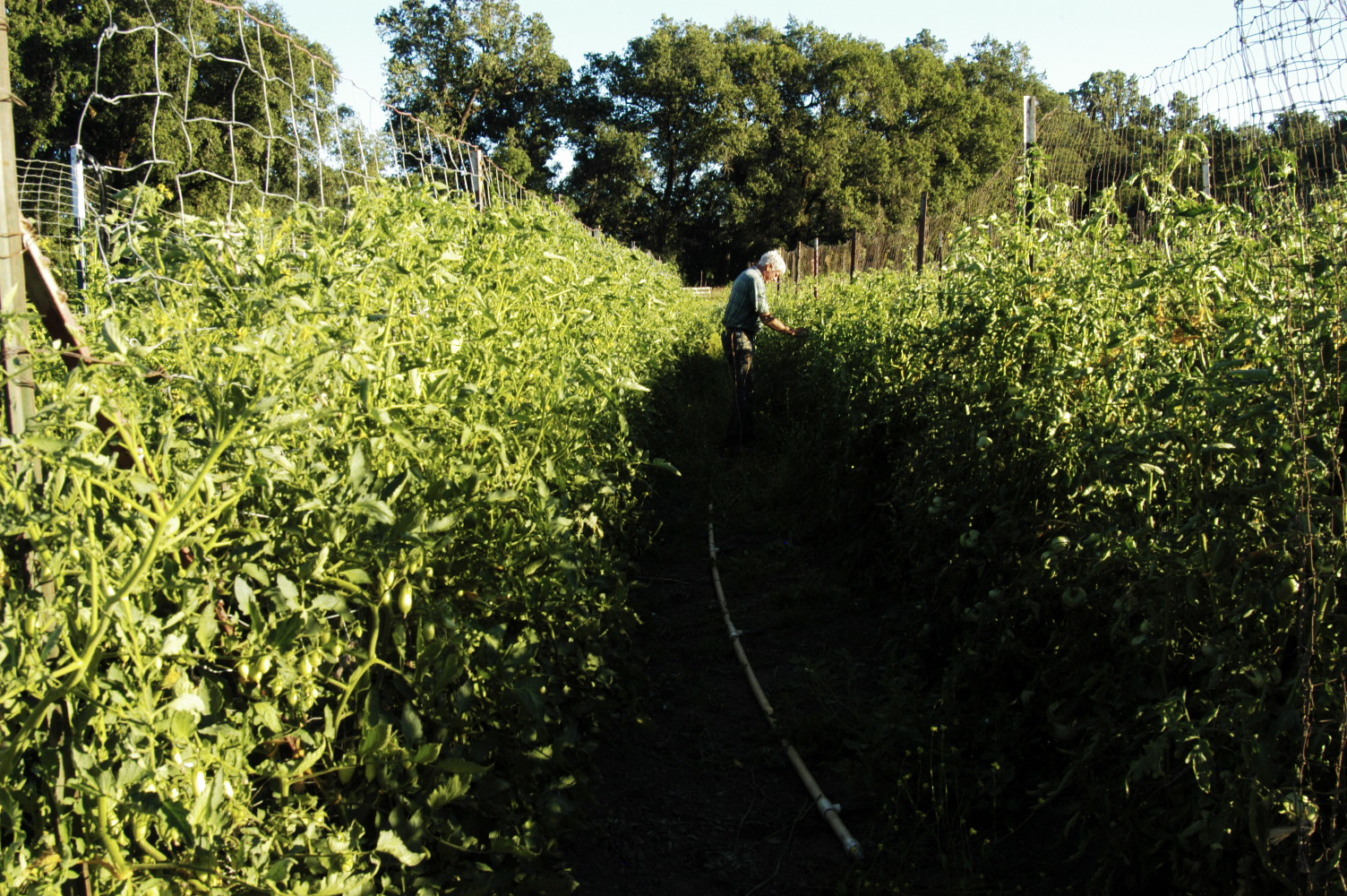 Here is a photo of my farmer-mentor, Stephen Decater, working in the tomato wall at Live Power Community Farm, in Covelo, CA, July 2010. Stephen was a student of Alan Chadwick's and learned this training and pruning method from him, directly.