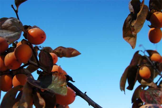 persimmon_winter.jpg