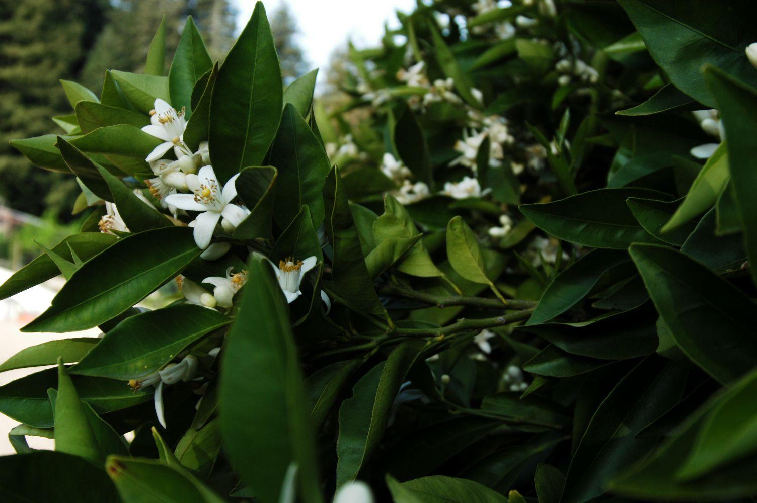 citrus blossom 1.jpg