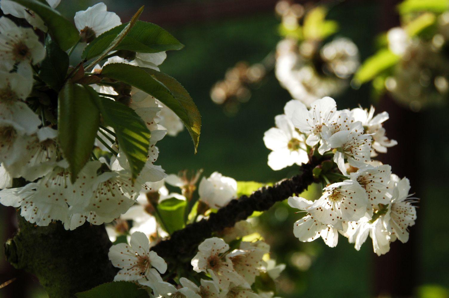 Cherry blossoms illuminated