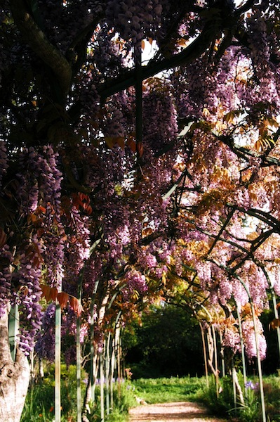 The sweet, distinct smell of wisteria, growing over the arbor that leads to the Grainfields was incomparable..and so fleeting.