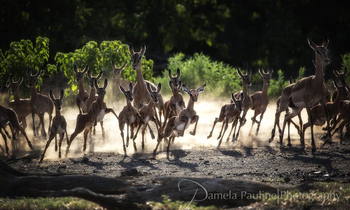 Impala Chase