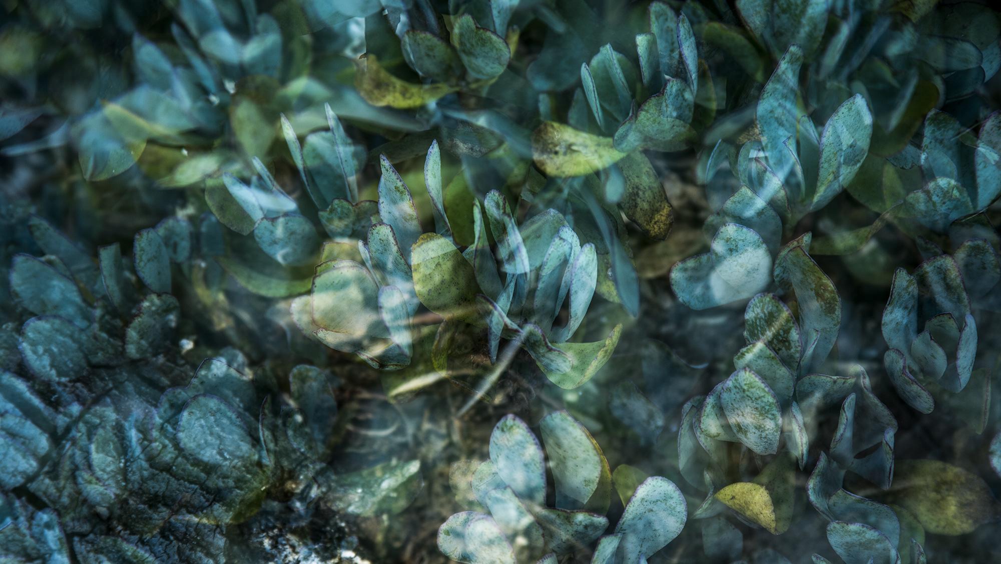 Blue Green Succulent Study 1