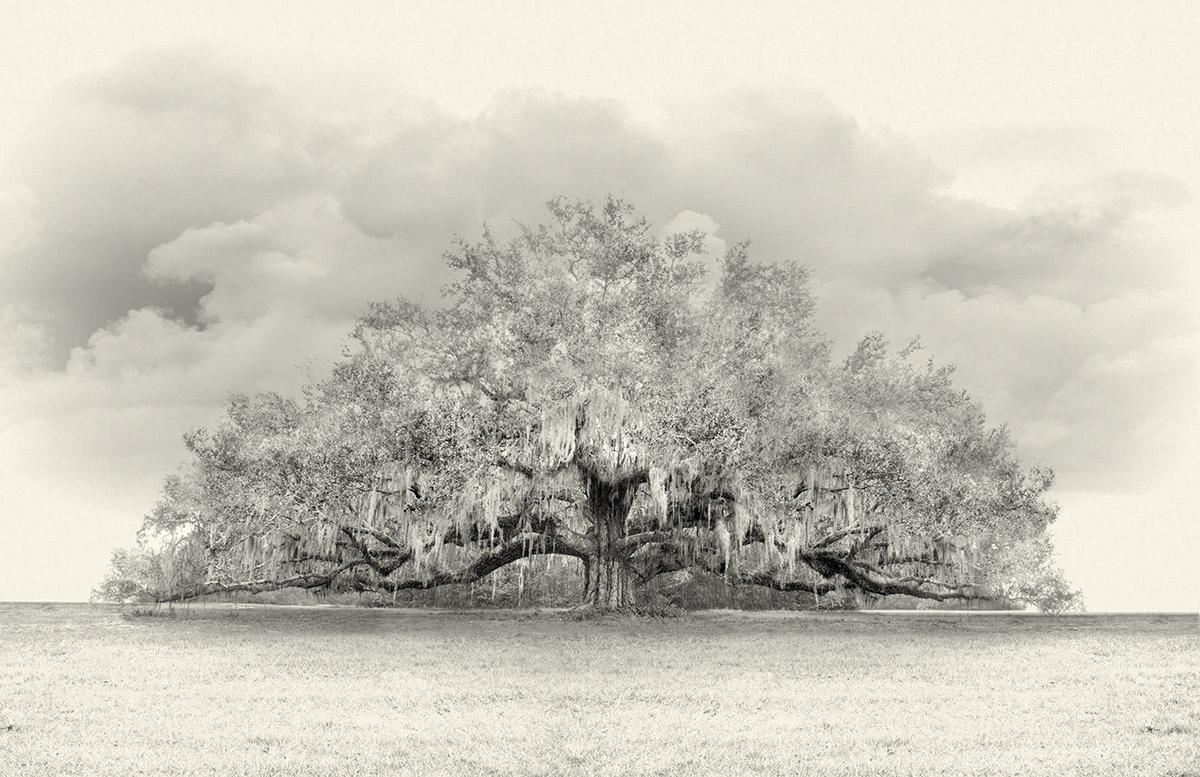 A Live Oak Growing