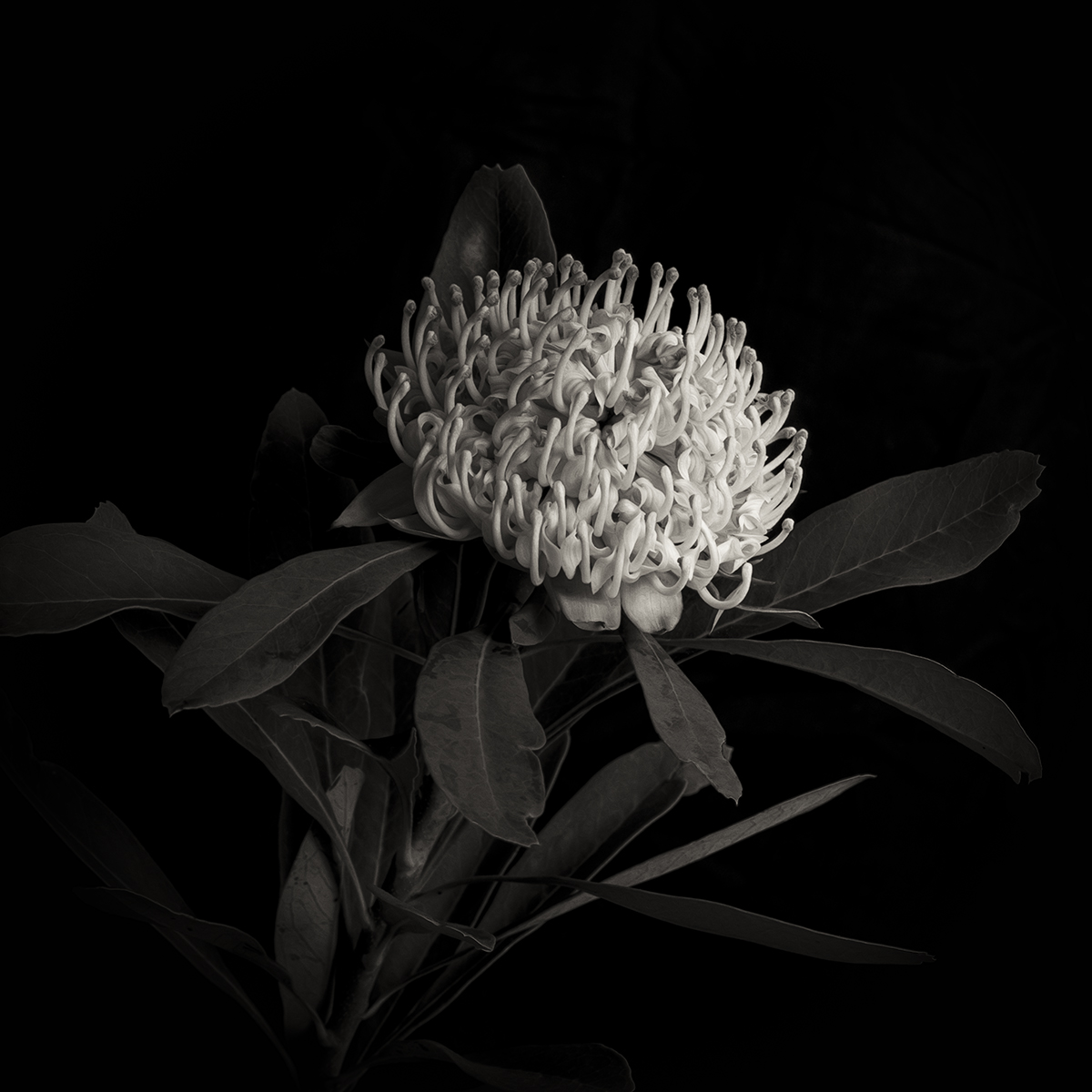 White Waratah on Black
