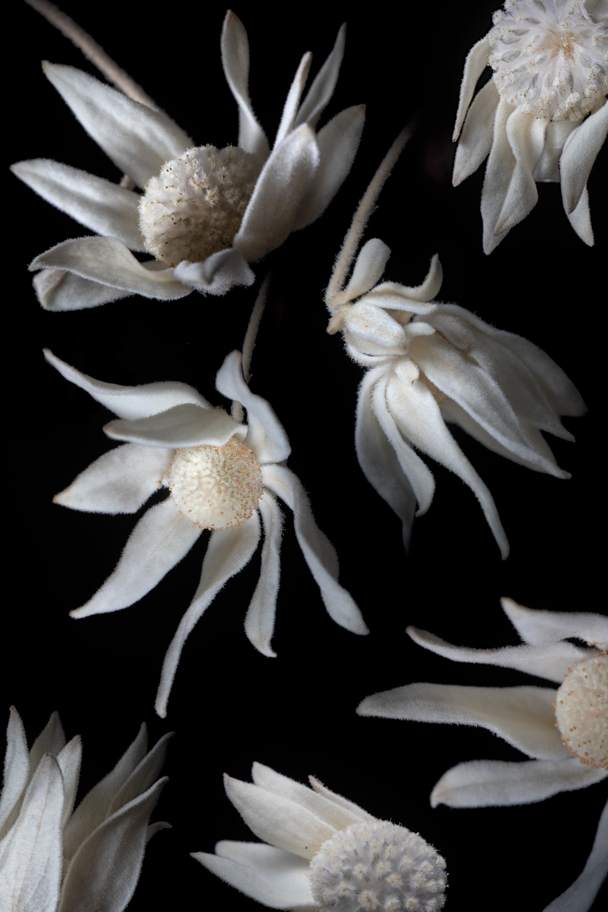 Flannel Flowers II