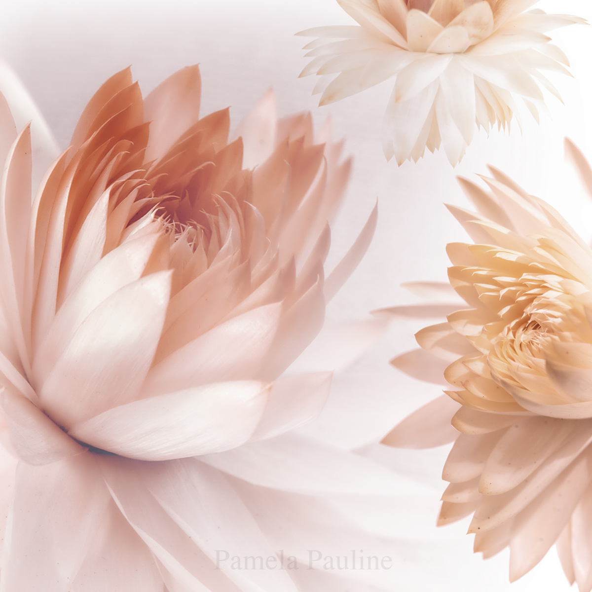 Pink Paper Daisies 1
