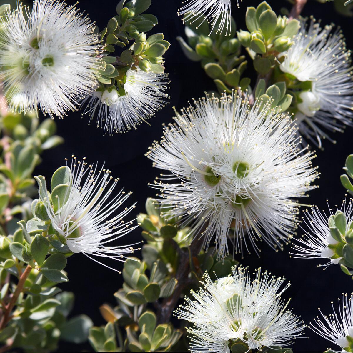 White Kunzea Pulchella
