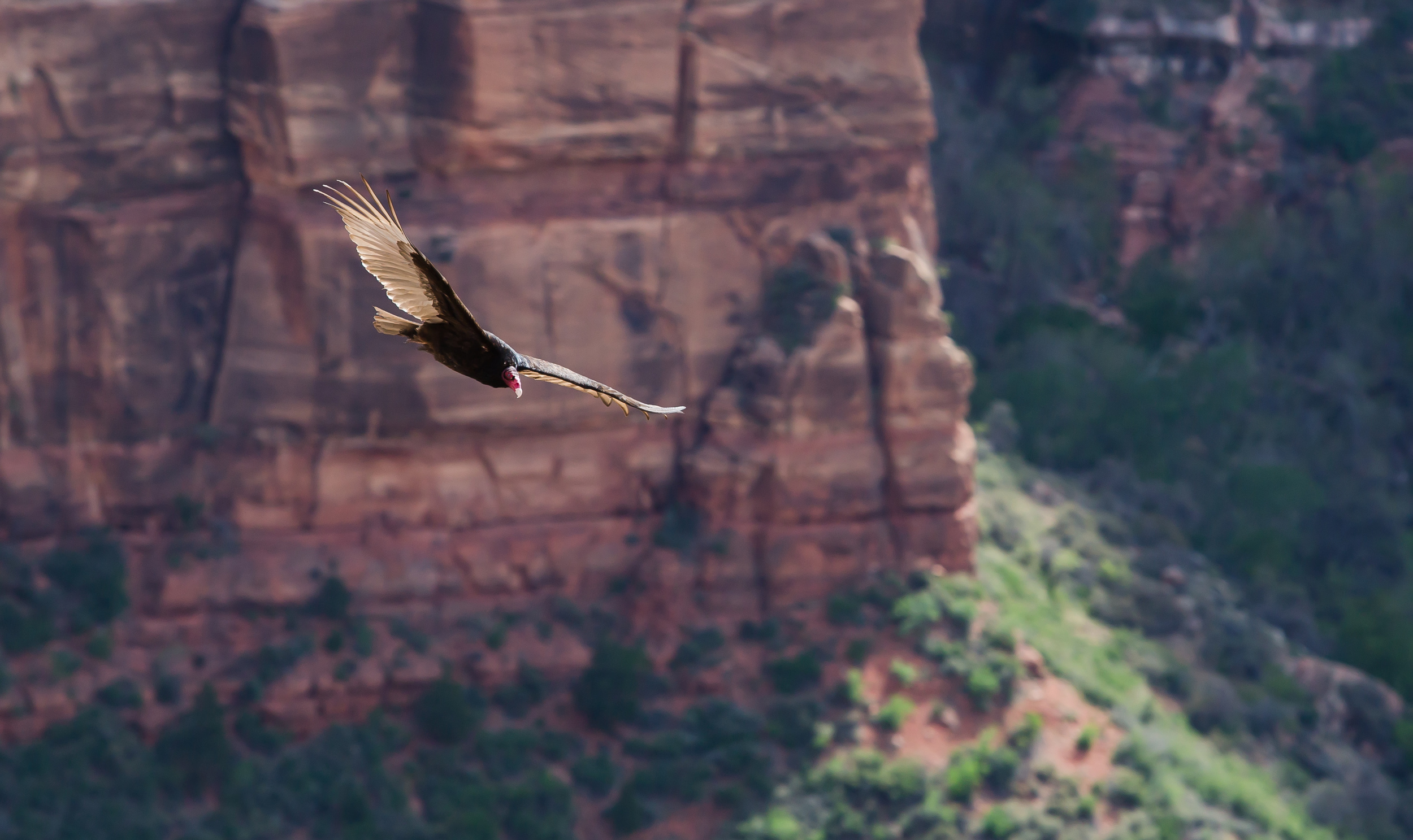 A vulture circles Angel's Landing in Zion National Park, USA