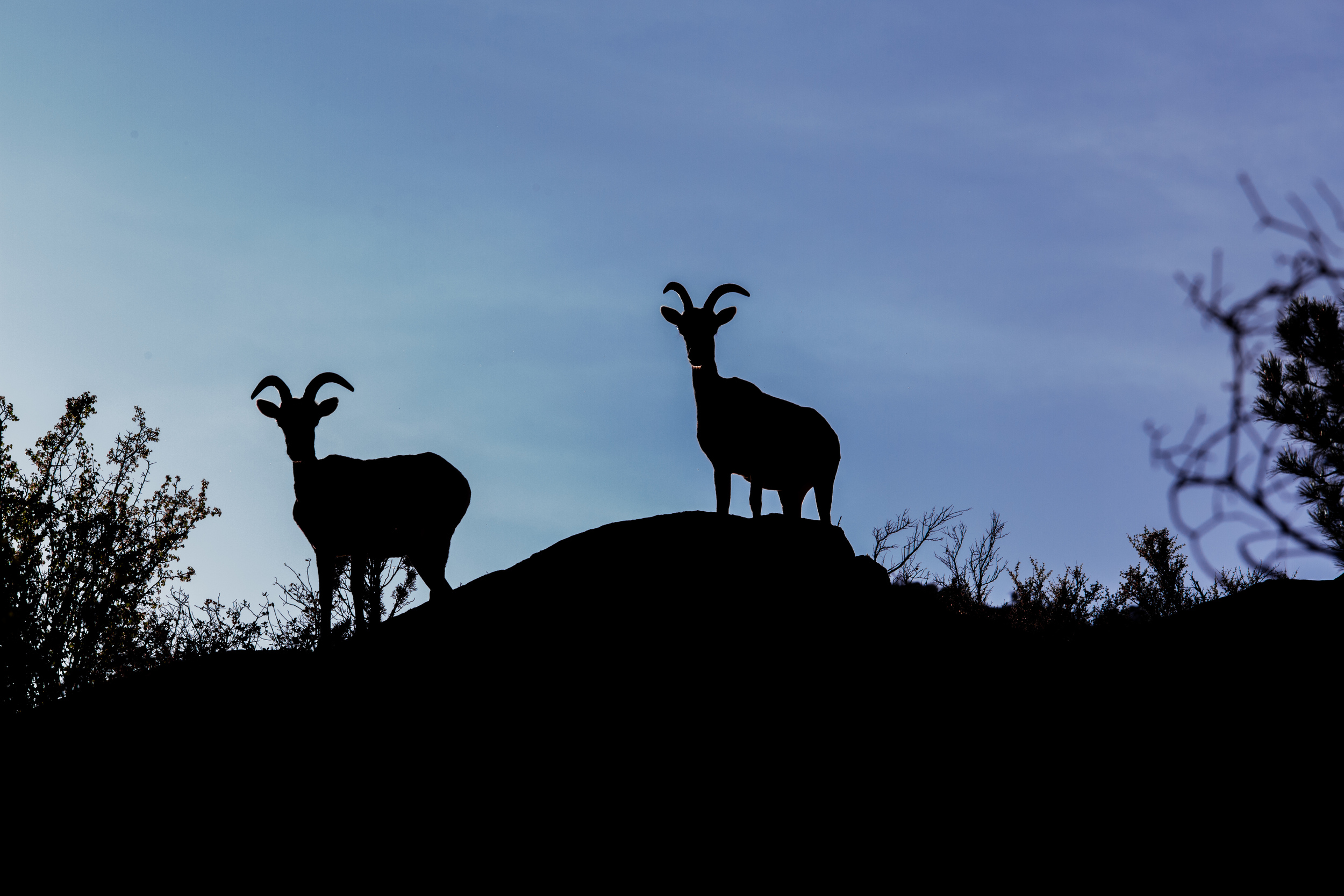 Big Horn Sheep.  Zion National Park, USA.