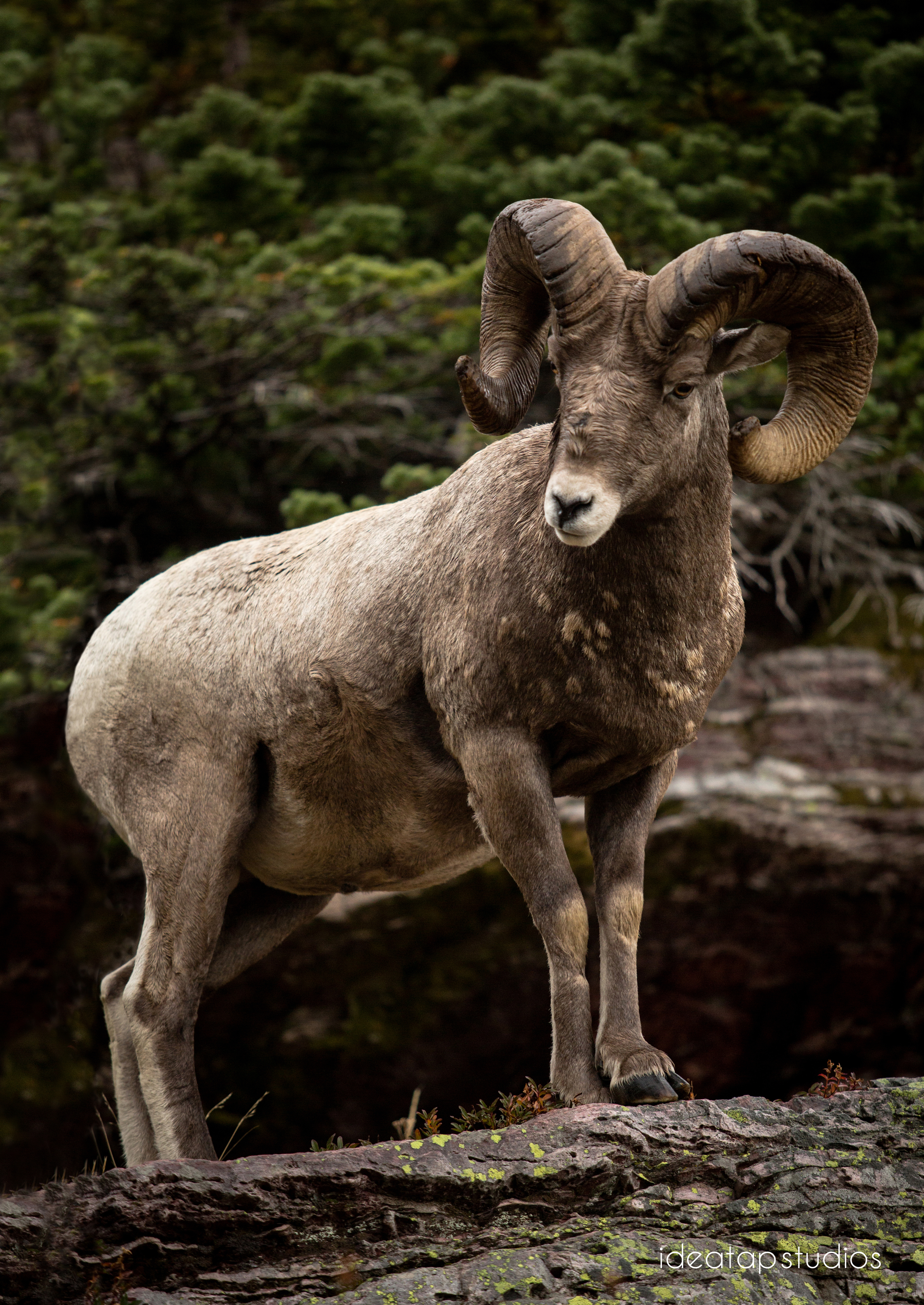 Adult ram, Glacier National Park