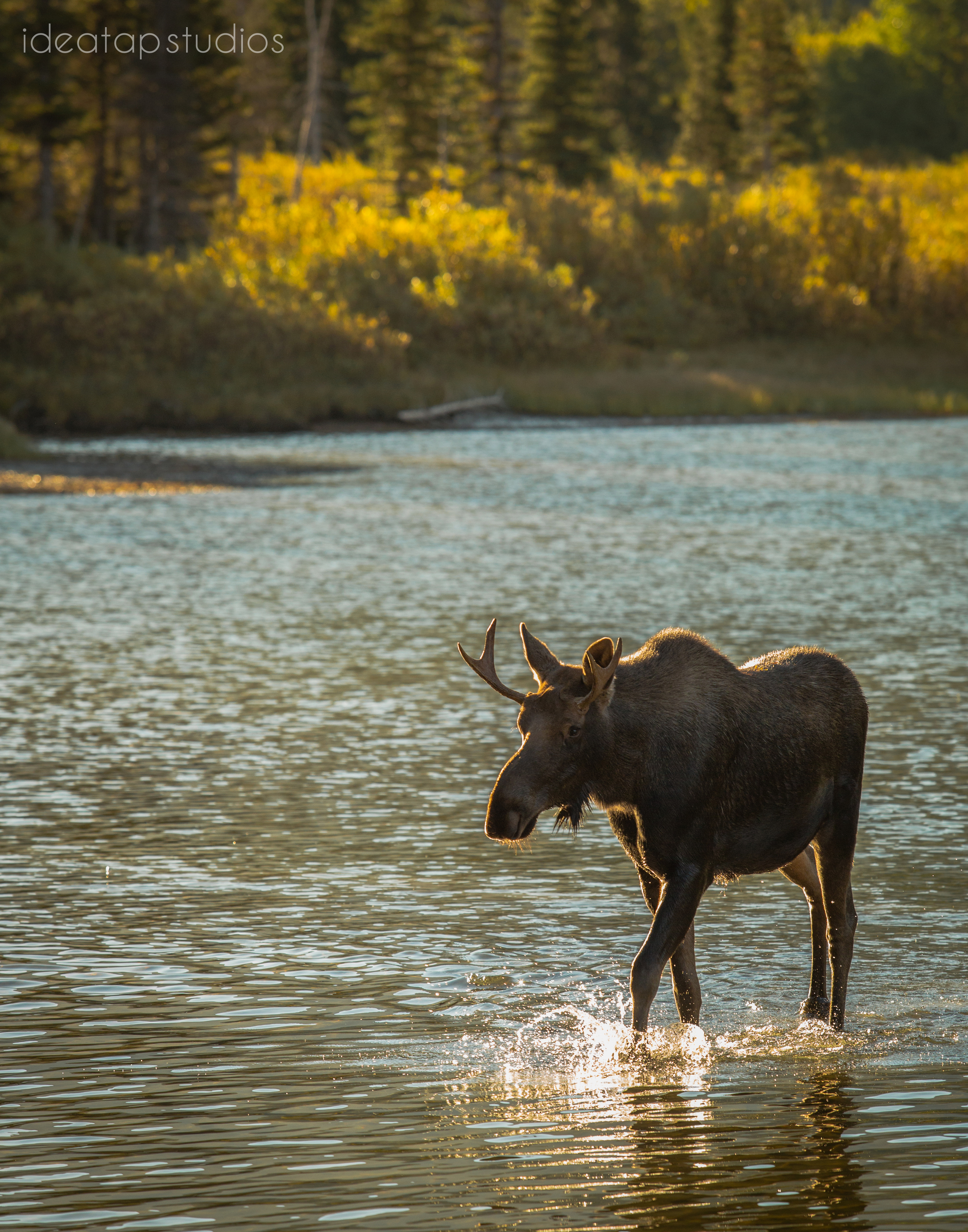 Young bull moose, Glacier National Park