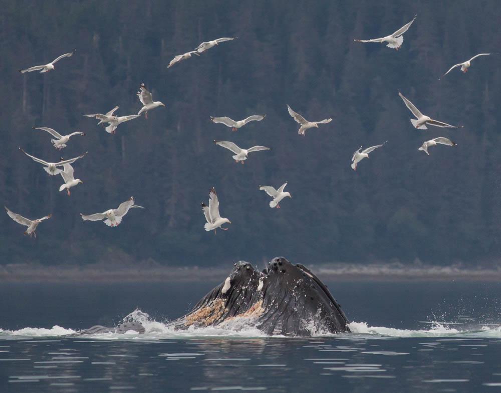 Humpback whales - Juneau, Alaska