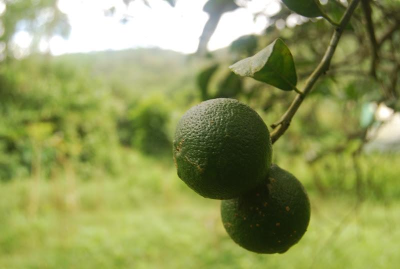 green lemon.jpg
