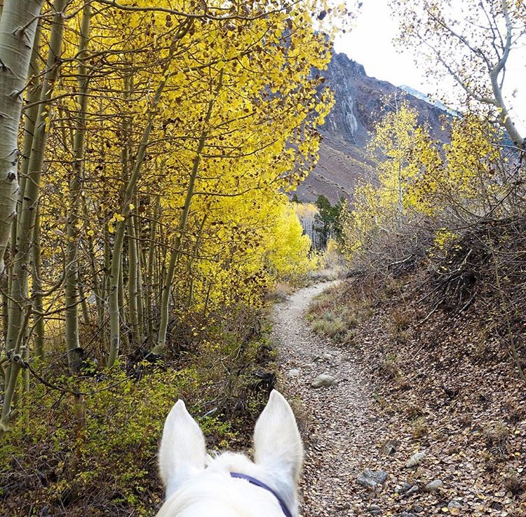 Last bit of fall color from the Aspen in the John Muir Wilderness in California. Thanks to 🔷 @horsepoor4ever 🔷 Damara Ann for sharing some spectacular shots this year. ........ Tag your photo #lifebetweentheears for a chance to be featured. Ride On! ^^ ........ #equinephotography #equestriantravel #equestrianadventure #johnmuirwilderness #mcgeecreek #california #thankyou #damaraann