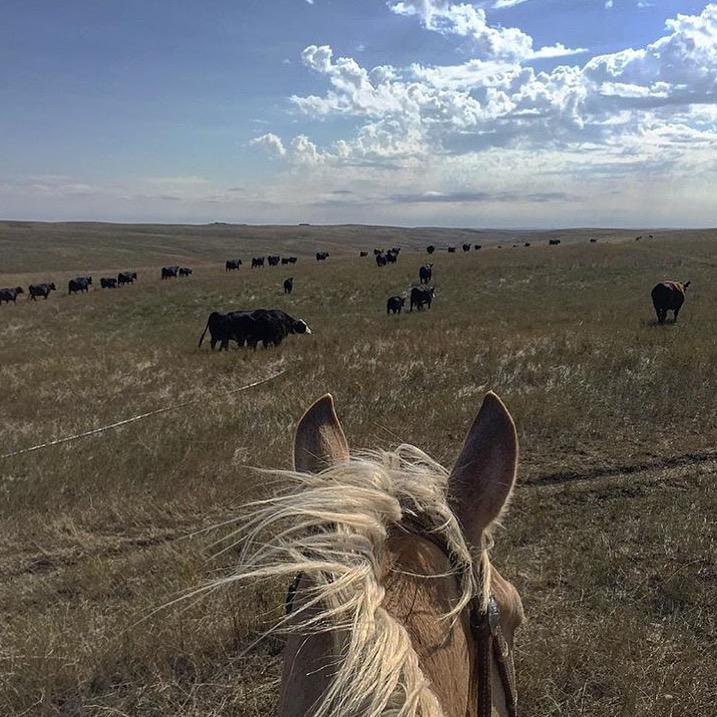 What autumn looks like in South Dakota. Thanks to 🔷 @thesdcowgirl 🔷 for sharing a slice of her daily life as a kick-ass, full time, cowgirl girl who documents it on her IG gallery. Bravo, Jenn! Show the men how it's done. 😉 ........ Tag your photo #lifebetweentheears for a chance to be featured. Ride On! ^^ ........ #equestrianlife #cowgirllife #southdakota #rurallife#ranchlife #equinephotography #cattle #thankyou #jenn